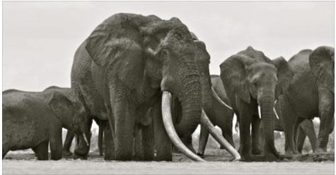Größter Elefant Der Welt